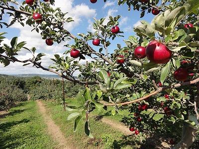 りんご園イメージ