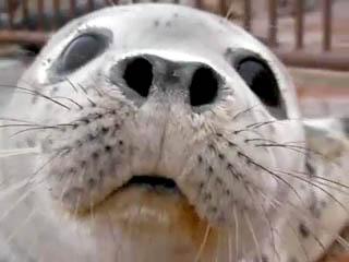 おたる水族館 ゴマフアザラシ