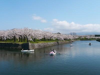 五稜郭公園 桜 ※函館市観光部提供写真